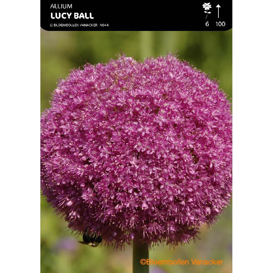 Ail d'ornement - Allium Lucy Bal
