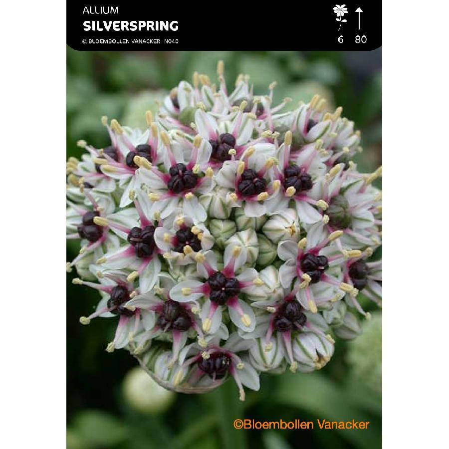 Ail d'ornement - Allium Silverspring (Allium Basalticum)