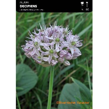 Ail d'ornement - Allium Decipiens