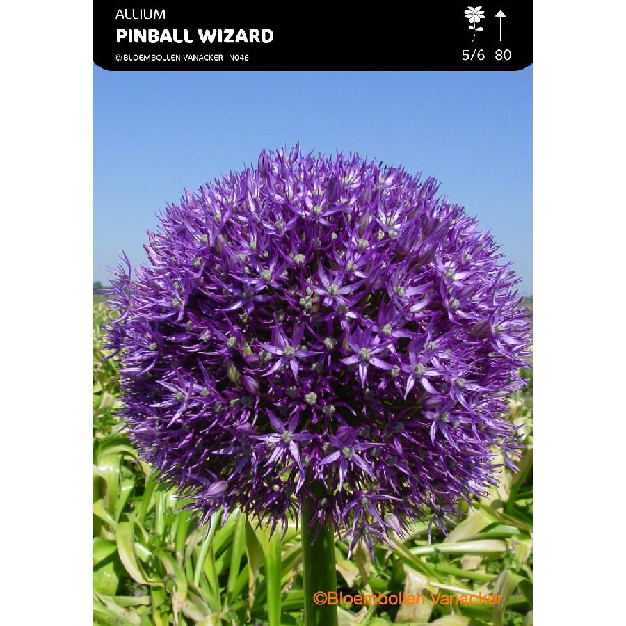 Ail d'ornement - Allium Pinball Wizard