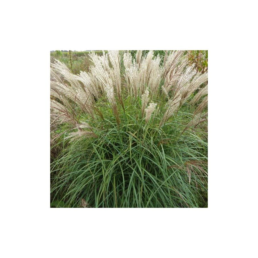 Miscanthus sinensis China