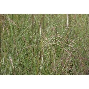 Miscanthus sinensis Graziella