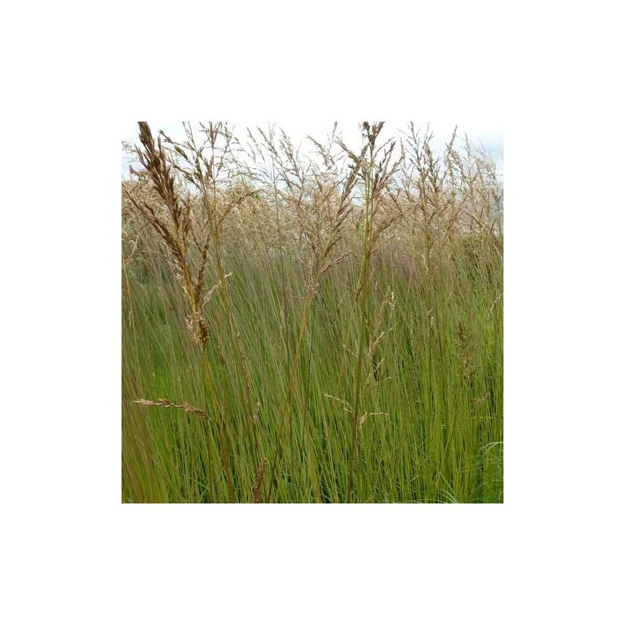 Molinia arundinacea Fontäne