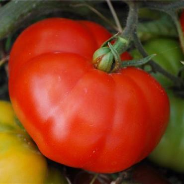 Tomate marmande AB