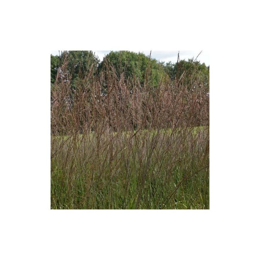 Molinia arundinacea Karl Foerster (Altissima)
