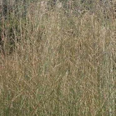 Molinia arundinacea Windspiel