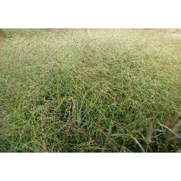 Panicum virgatum Rehbraun (Rotbraun)