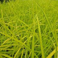 Carex elata 'Aurea' (Bowles Golden)