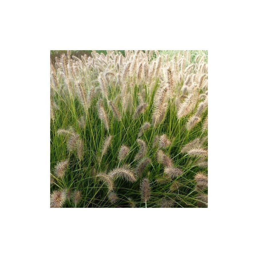 Pennisetum alopecuroïdes Gelbstiel
