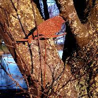 Oiseau bouvreuil H36,5cm à piquer en fer rouille