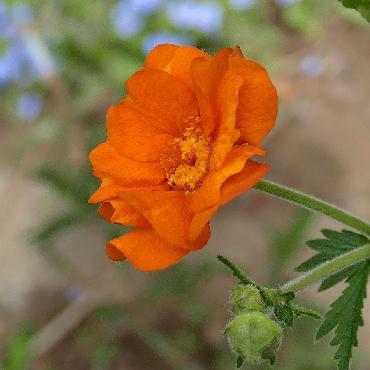 Geum Totally Tangerine