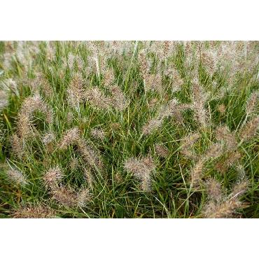 Pennisetum alopecuroïdes Little Honey