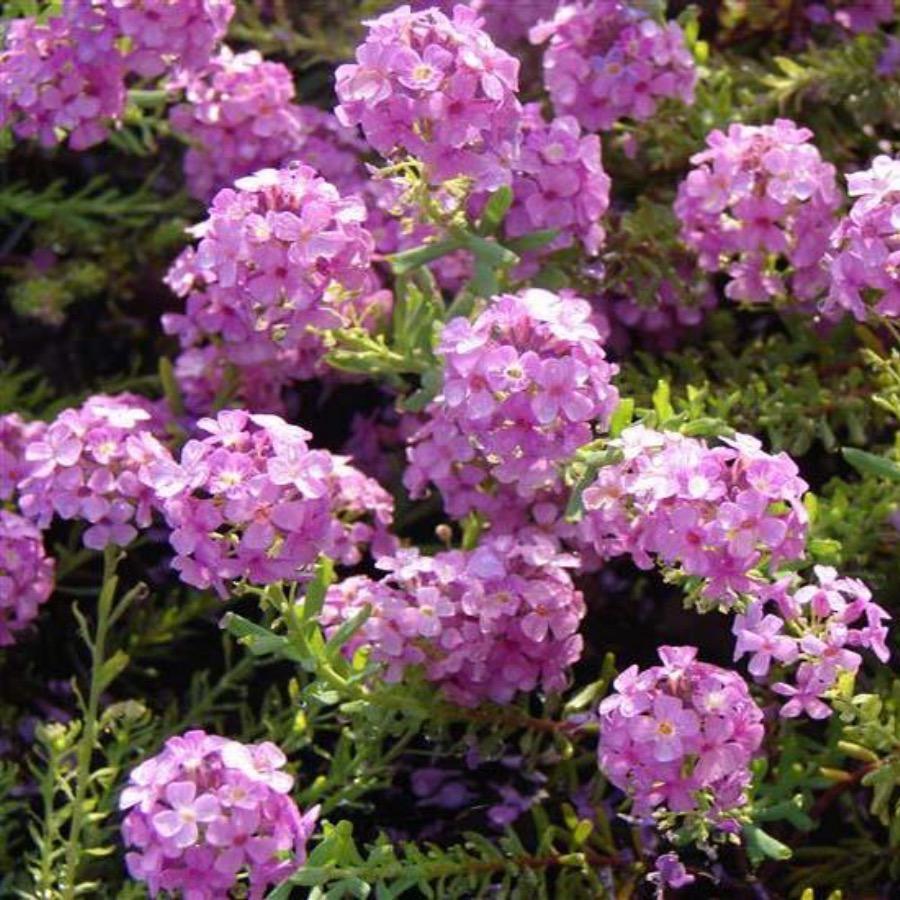Aethionema armenum Warley Rose