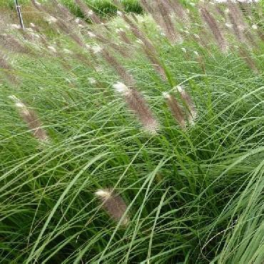 Pennisetum alopecuroïdes Japonicum