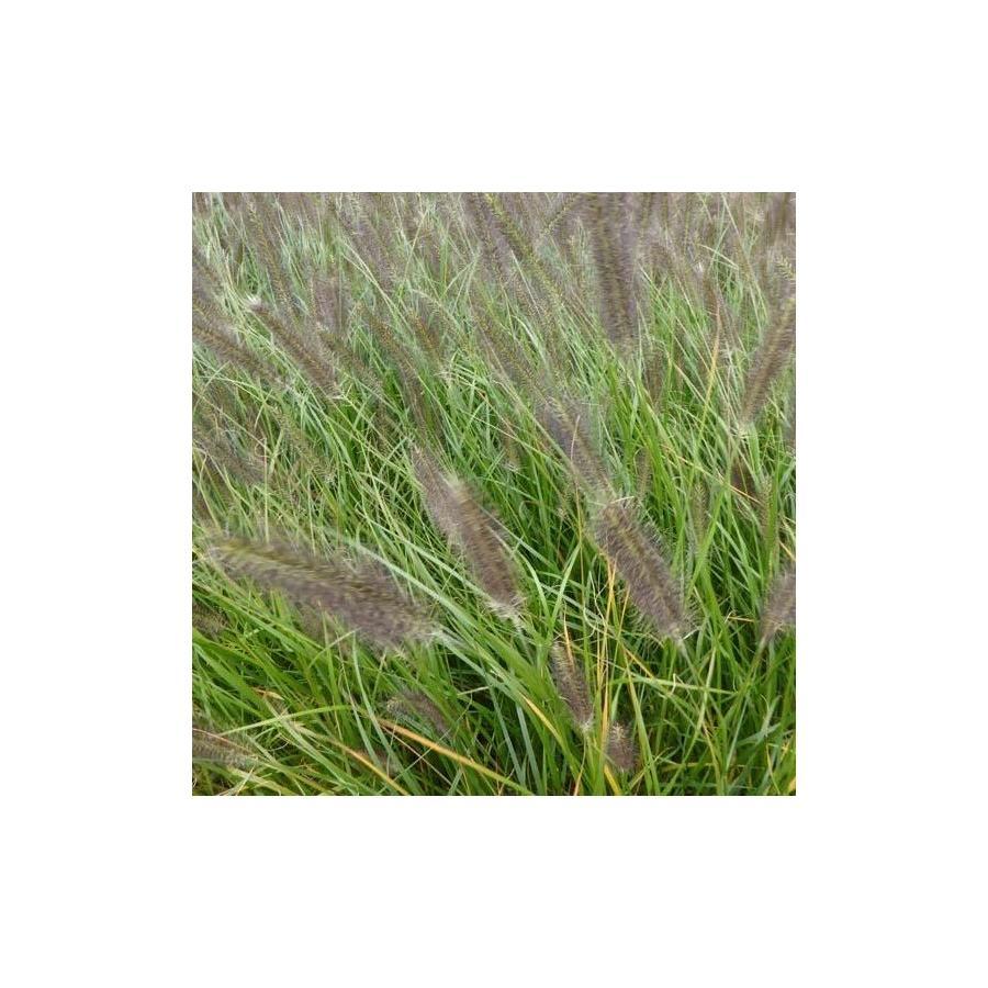 Pennisetum alopecuroïdes Moudry