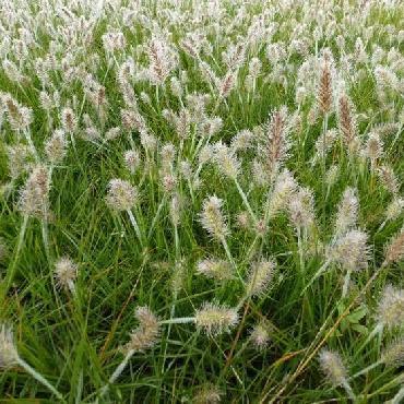 Pennisetum alopecuroïdes Little Bunny