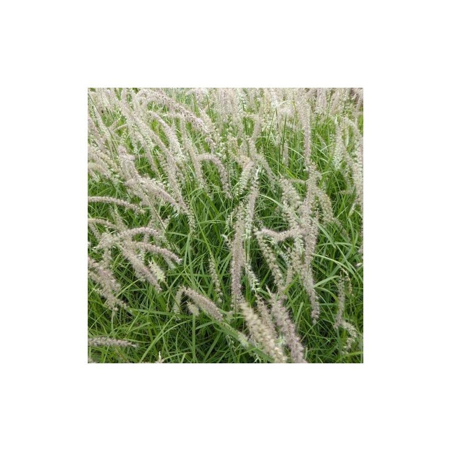 Pennisetum orientale Tall Tails