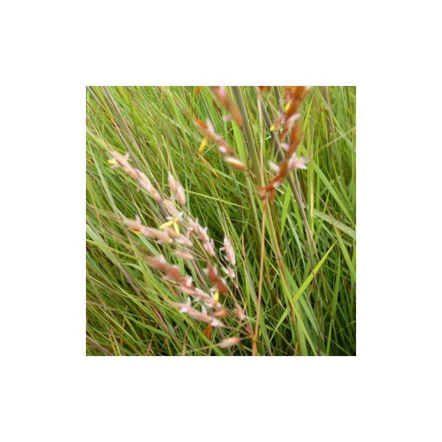 Sorghastrum nutans (avennaceum)
