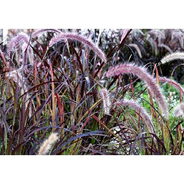 Pennisetum setaceum Rubrum