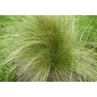 Stipa tenuifolia (Stipa tenuissima ou Nassella tenuissima)