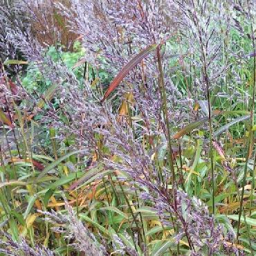 Spodiopogon sibiricus