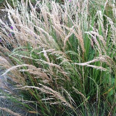 Stipa calamagrostis...