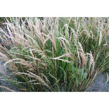 Stipa calamagrostis (Achnatherum calamagrostis)