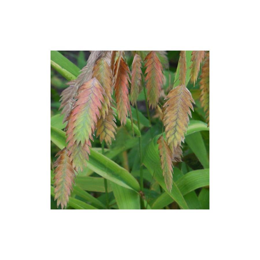 Chasmanthium latifolium inflorescence