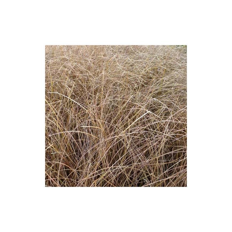 Carex comans Kupferflamme