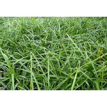 Carex oshimensis Evergreen