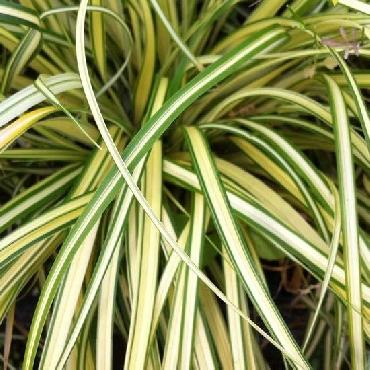 Carex oshimensis Evergold (Aureovariegata ou Old Gold ou Everbrite ou Variegata)