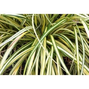 Carex oshimensis Evergold (Aureovariegata ou Old Gold ou Everbrite ou Variegata)