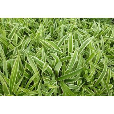 Carex siderosticha Variegata