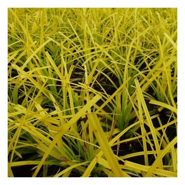 Carex oshimensis Everillo