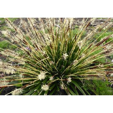 Carex oshimensis JS Greenwell