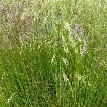 Deschampsia cespitosa Waldschrat