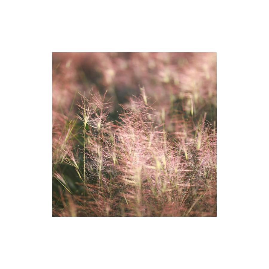 Muhlenbergia capillaris inflorescences