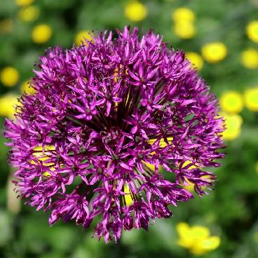 Ail d'ornement - Allium aflatunense (Allium hollandicum)