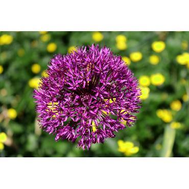 Ail d'ornement - Allium aflatunense (Allium hollandicum)