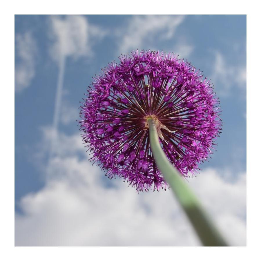 Belle Graines de fleurs Allium giganteum MIX 2 x 30 Graines violette blanc