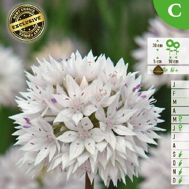Ail d'ornement - Allium amplectens Gracefull Beauty