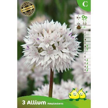 Ail d'ornement - Allium amplectens Gracefull Beauty