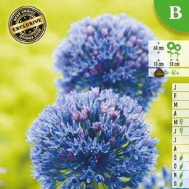 Ail d'ornement - Allium caeruleum (Allium azureum)