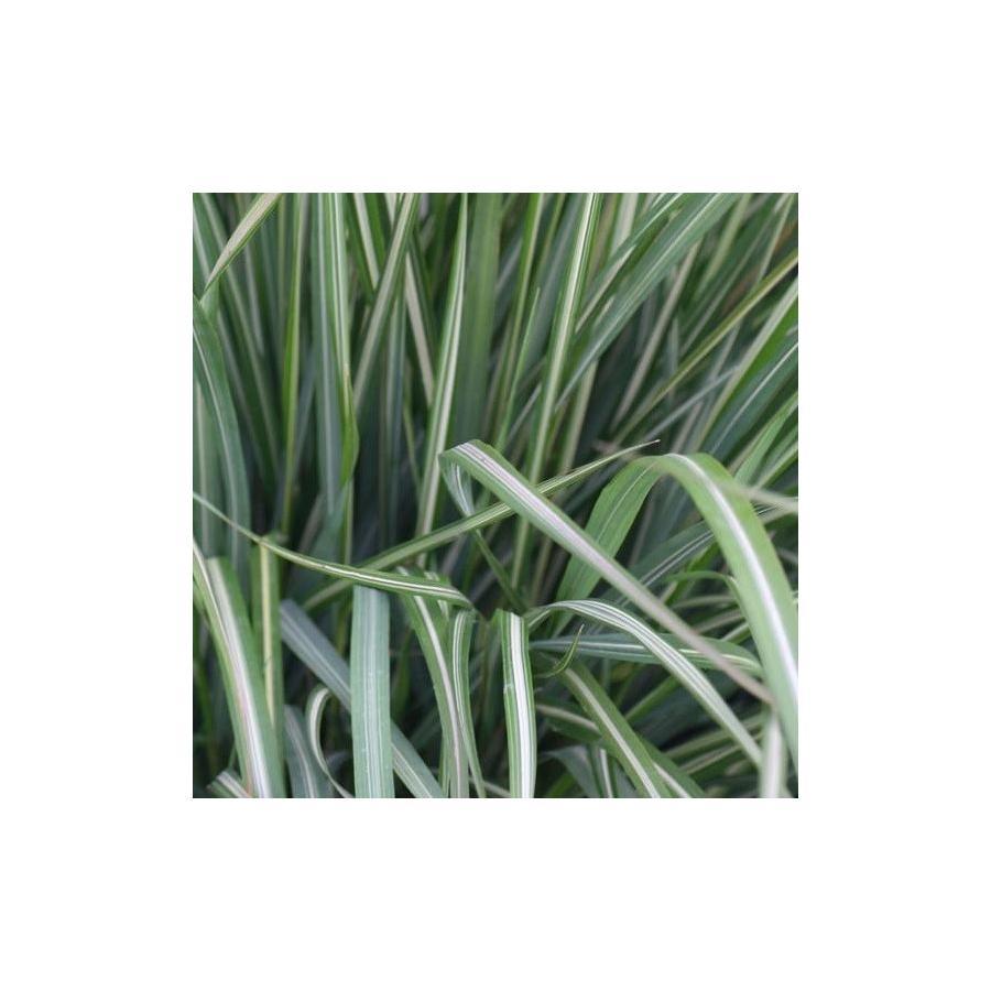 Calamagrostis x acutiflora Avalanche
