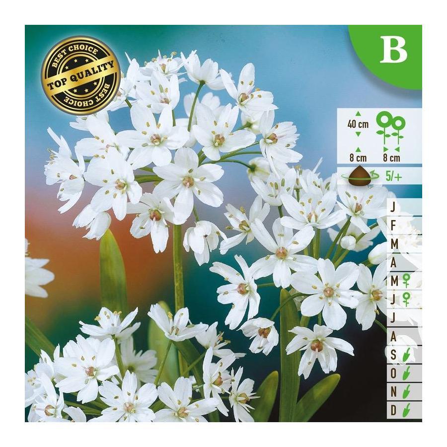 Ail d'ornement - Allium cowanii (Allium neapolitanum)