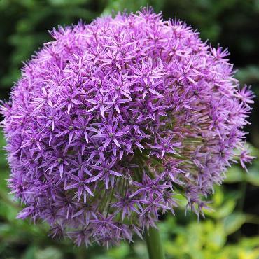 Ail d'ornement - Allium Giganteum