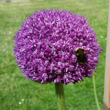 Ail d'ornement - Allium Globemaster