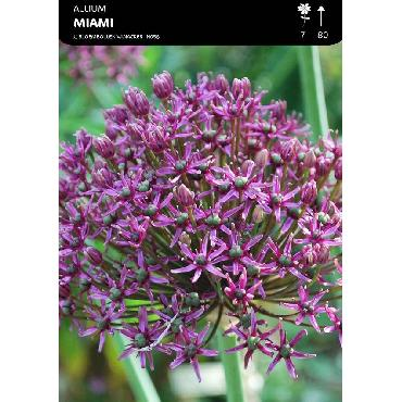 Ail d'ornement - Allium Miami