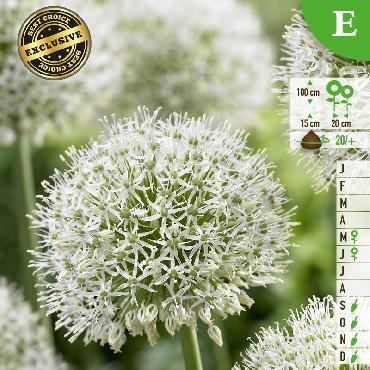 Ail d'ornement - Allium Mount Everest