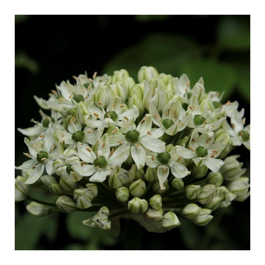 Ail d'ornement - Allium Multibolbosum (Allium Nigrum)